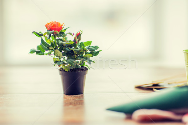 close up of rose flower in pot on table at home Stock photo © dolgachov