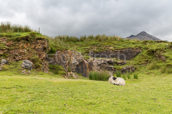 Moutons collines Irlande nature agriculture montagne Photo stock © dolgachov