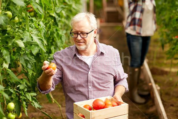 old man picking tomatoes up at farm greenhouse Stock photo © dolgachov