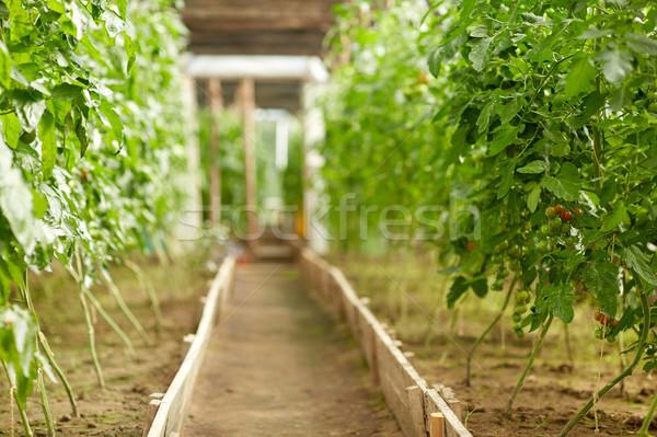 tomato seedlings growing at greenhouse Stock photo © dolgachov