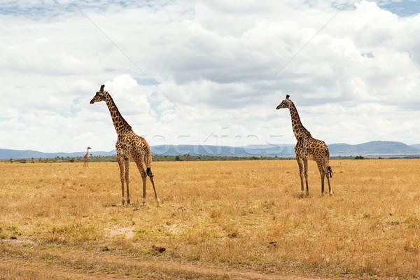 Grup zürafalar Afrika hayvan doğa Stok fotoğraf © dolgachov