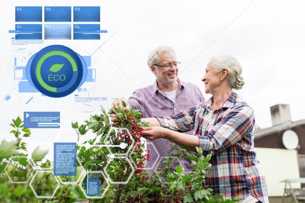 Casal de idosos colheita groselha verão jardim orgânico Foto stock © dolgachov