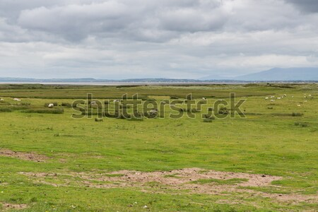 Moutons domaine Irlande nature agriculture été Photo stock © dolgachov