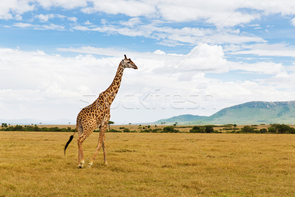 giraffe walking along savannah at africa Stock photo © dolgachov