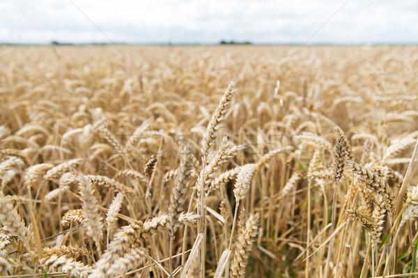 Campo trigo orejas centeno agricultura Foto stock © dolgachov