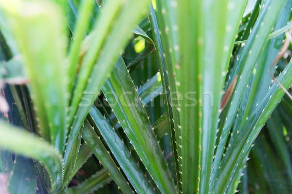 Verde exótico planta ao ar livre botânica Foto stock © dolgachov