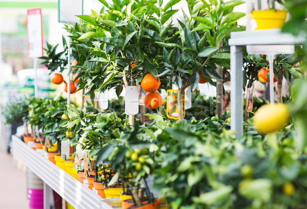 close up of citrus seedlings in gardening shop Stock photo © dolgachov