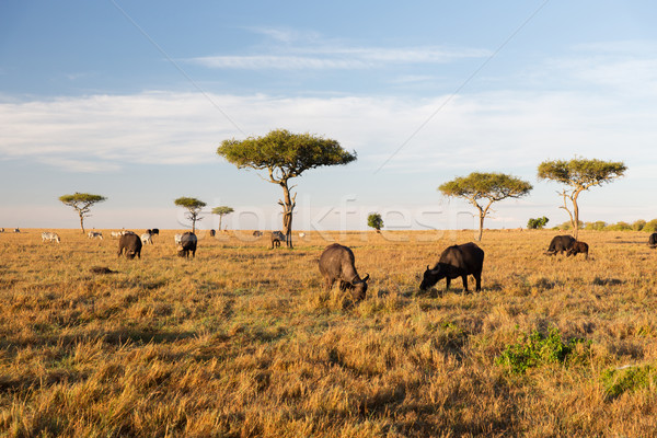 buffalo bulls grazing in savannah at africa Stock photo © dolgachov