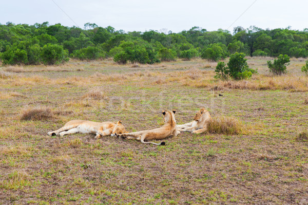 pride of lions resting in savannah at africa Stock photo © dolgachov