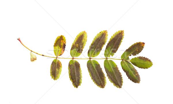 dry fallen rowan tree leaf Stock photo © dolgachov