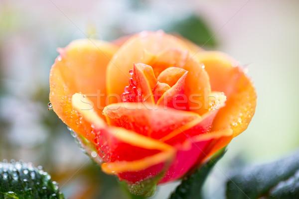 close up of rose flower Stock photo © dolgachov