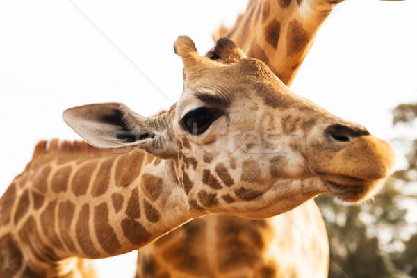 Giraffen afrika dier natuur wildlife Stockfoto © dolgachov