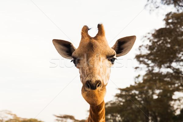 Giraffa africa animale natura fauna selvatica faccia Foto d'archivio © dolgachov