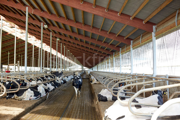 herd of cows in cowshed stable on dairy farm Stock photo © dolgachov