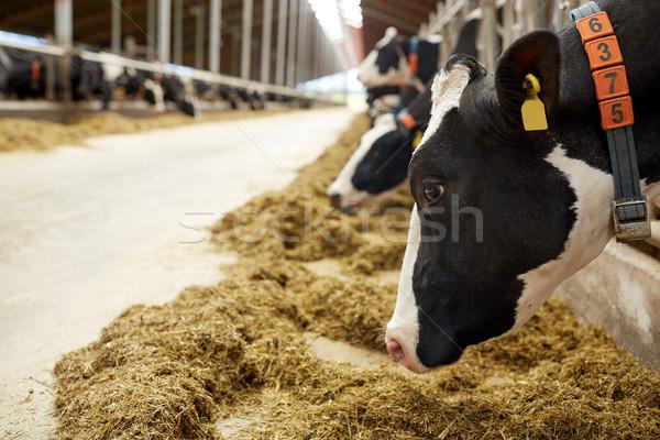Vacche mangiare fieno caseificio farm Foto d'archivio © dolgachov