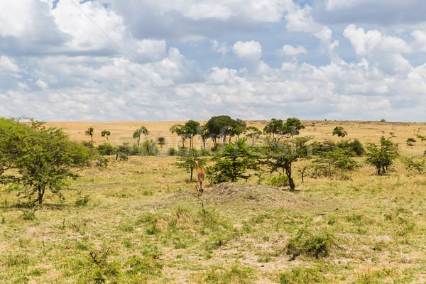 impala or antelope with calf in savannah at africa Stock photo © dolgachov