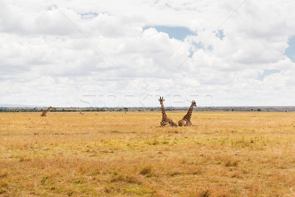 group of giraffes in savannah at africa Stock photo © dolgachov