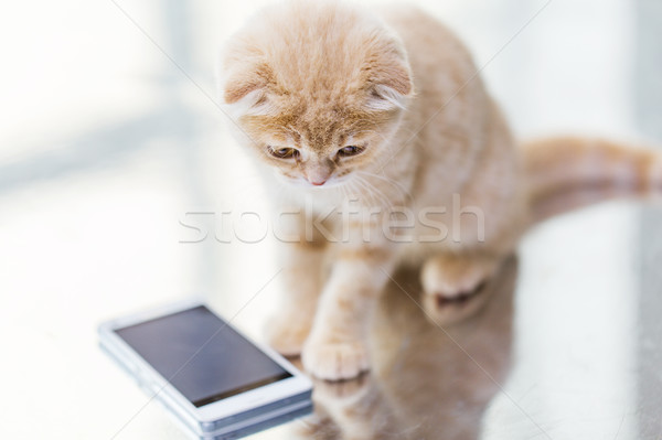 close up of scottish fold kitten with smartphone Stock photo © dolgachov