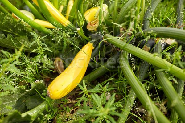squashes at summer garden bed Stock photo © dolgachov