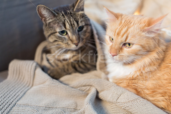 two cats lying with blanket at home Stock photo © dolgachov