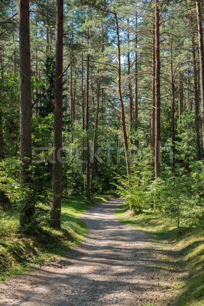 Pine forest Stock photo © donatas1205