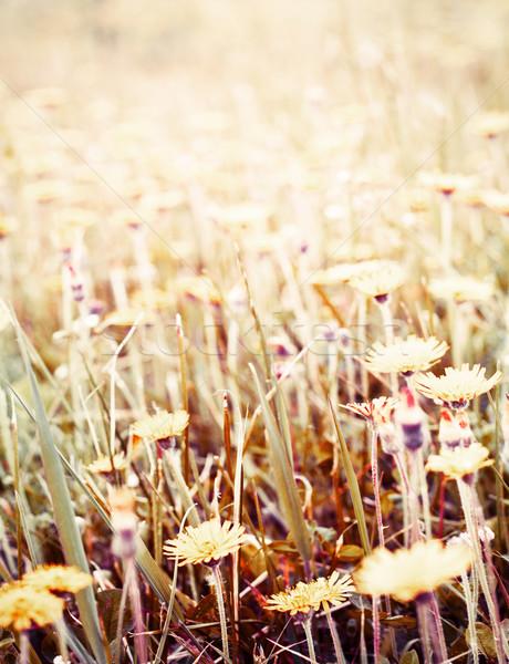 Stock fotó: Mezők · absztrakt · vad · virágok · mező · virág · textúra