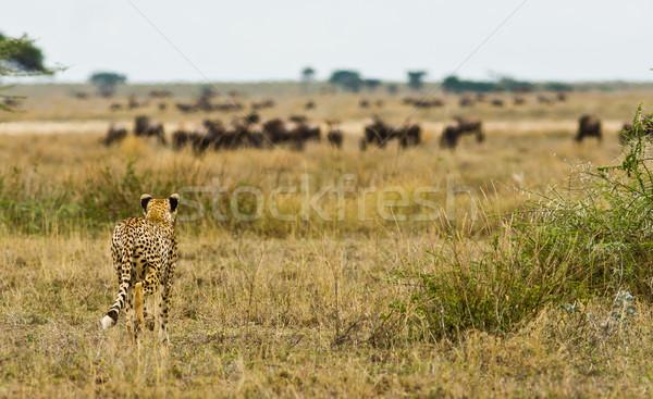 Cheetah Stock photo © Donvanstaden