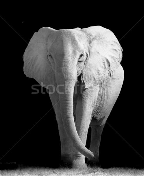 Elefánt művészi afrikai elefánt sétál ki sötétség Stock fotó © Donvanstaden
