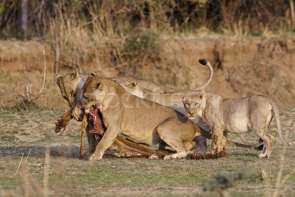 Fierté sauvage lion animaux Photo stock © Donvanstaden