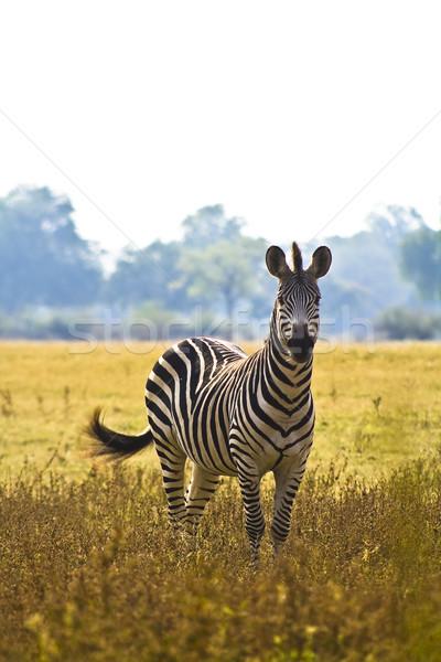 Stock fotó: Vad · zebra · afrikai · árvíz · fű · park