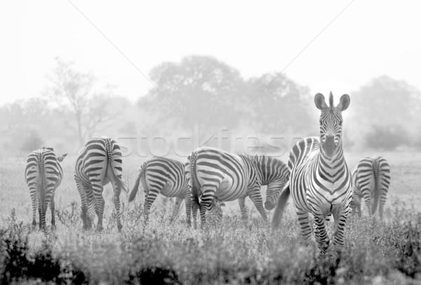 Zebrák nyáj vad afrikai árvíz erő Stock fotó © Donvanstaden