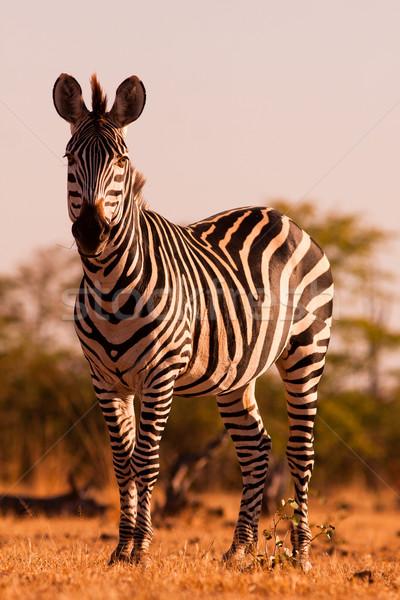 Zebra szín kép vad erő park Stock fotó © Donvanstaden