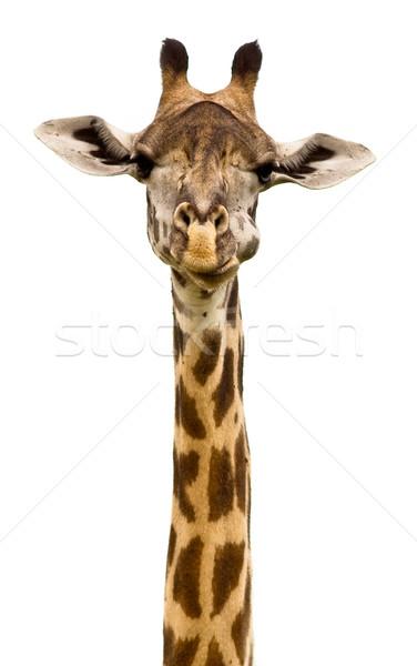 Zsiráf fej izolált fehér jókedv minta Stock fotó © Donvanstaden