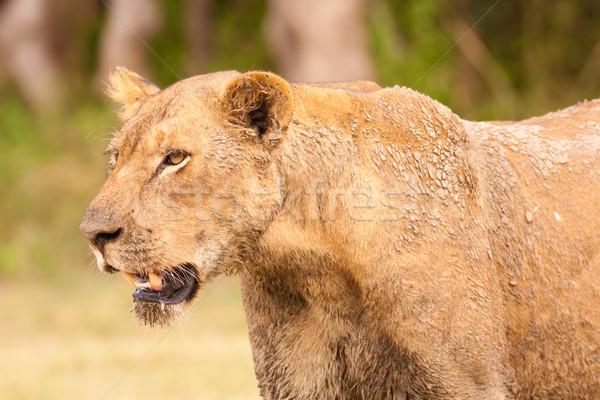 Oroszlán közelkép vad afrikai állat vezető Stock fotó © Donvanstaden