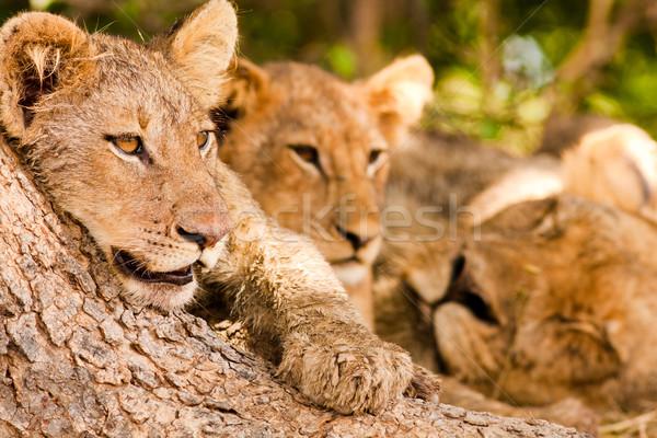 Büszkeség pihen árnyék nagy fa oroszlán Stock fotó © Donvanstaden