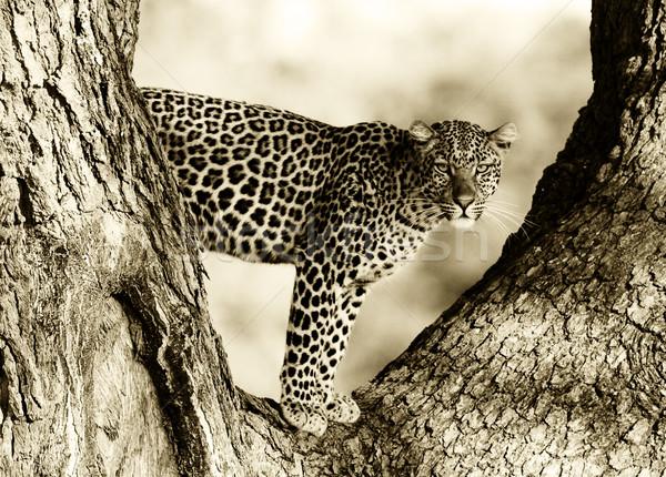 Leopárd feketefehér kép vad fa arc Stock fotó © Donvanstaden
