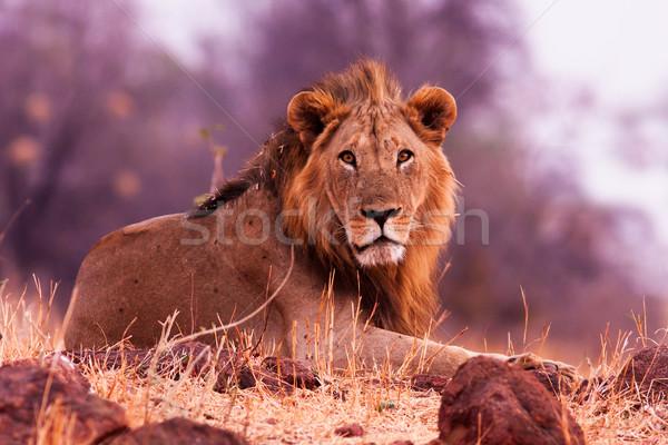Oroszlán vad pihen fű természet Afrika Stock fotó © Donvanstaden