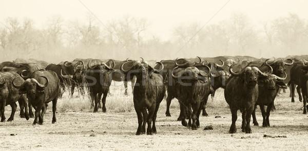 Herd of Buffalo Stock photo © Donvanstaden