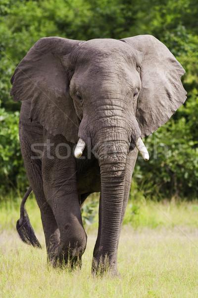 Vad afrikai elefánt sétál vadon portré bőr Stock fotó © Donvanstaden