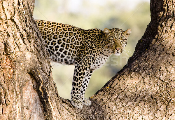 Wild Leopard in a tree Stock photo © Donvanstaden