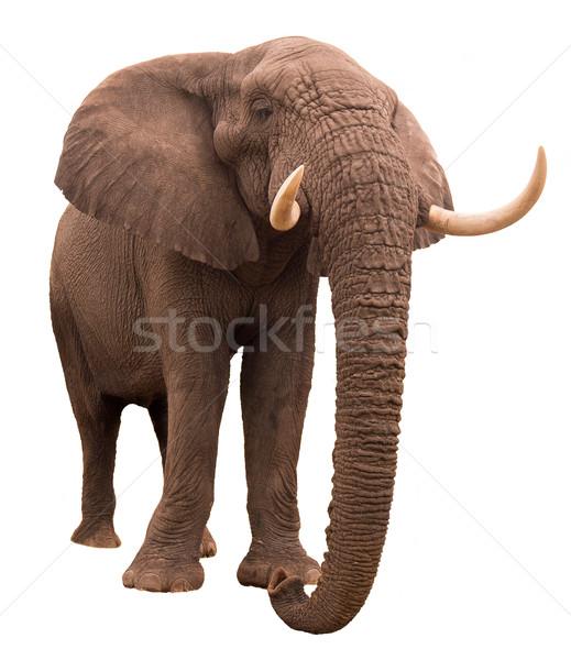Elefánt afrikai elefánt izolált fehér égbolt erő Stock fotó © Donvanstaden