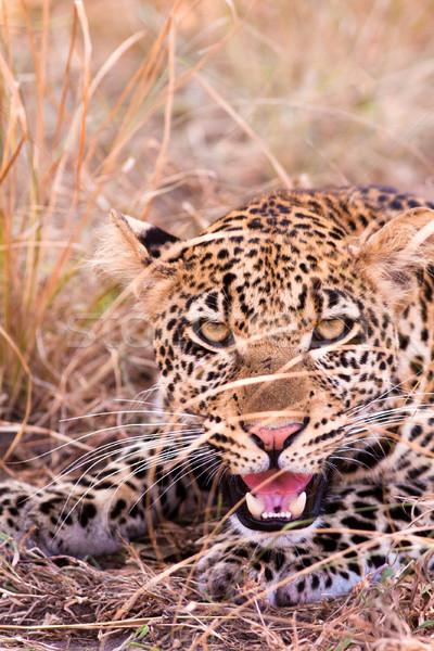 Leopárd közelkép vad arc macska portré Stock fotó © Donvanstaden