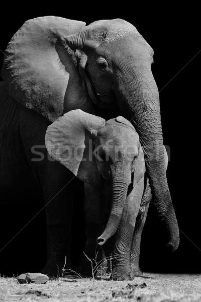 Anya elefánt baba fekete fehér kép Stock fotó © Donvanstaden