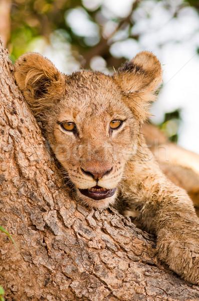 Cute leeuw welp boom dier Stockfoto © Donvanstaden