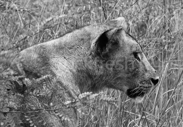 Oroszlán bámul hosszú fű állat Stock fotó © Donvanstaden