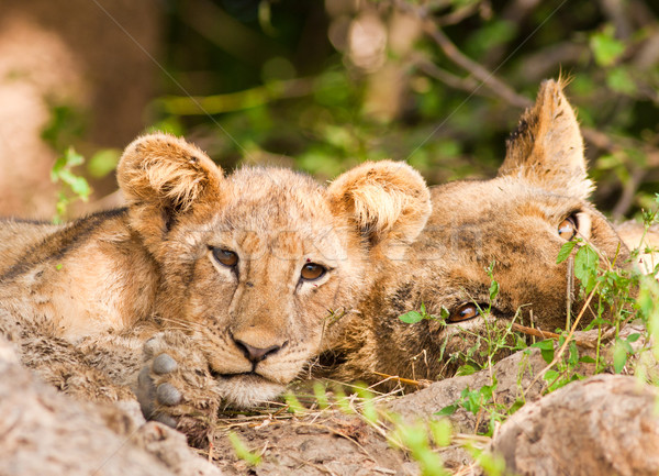 Cute Lion Cub and Mother Stock photo © Donvanstaden