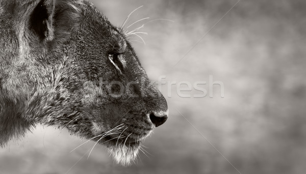 Lion side view Stock photo © Donvanstaden