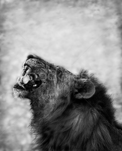 Stock fotó: Oroszlán · veszélyes · fogak · fekete · kép · haj