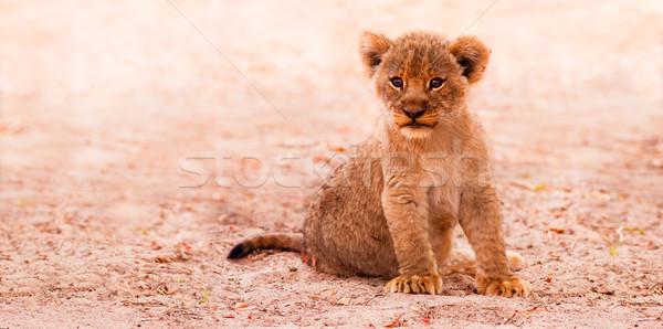 Cute Lion Cub Stock photo © Donvanstaden