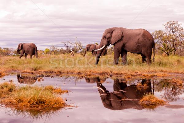 Afrikai elefánt etetés vad nyáj szavanna Stock fotó © Donvanstaden